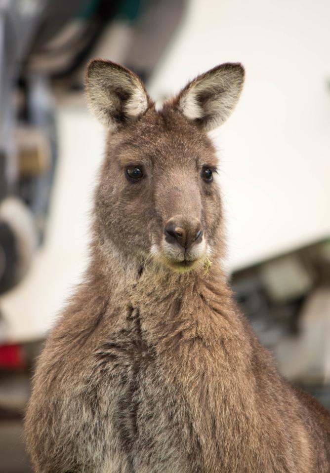 Un majestueux kangourou mâle adulte