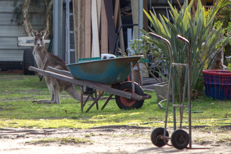 Un kangourou au beau milieu d'un jardin - T'oublieras pas de tondre la pelouse!