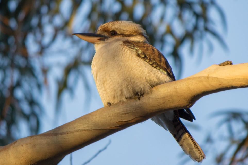 Un Kookaburra, on entend plus facilement cet oiseau qu'on ne le voit. Mais j'en ai vue à chaque fois sur cette île