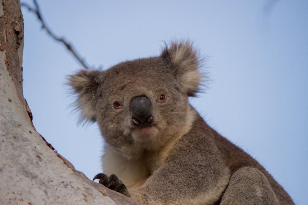 Attention, le koala n'est pas un ours. Mais il est mignon quand même!