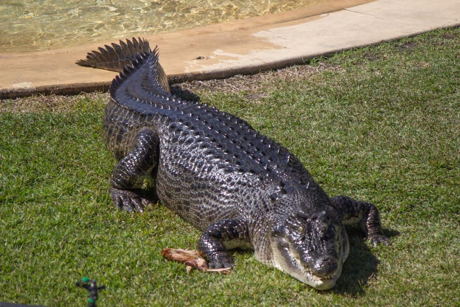 Saltwater crocodile ou crocodile d'estuaire, il peut faire jusqu'à 8m de long