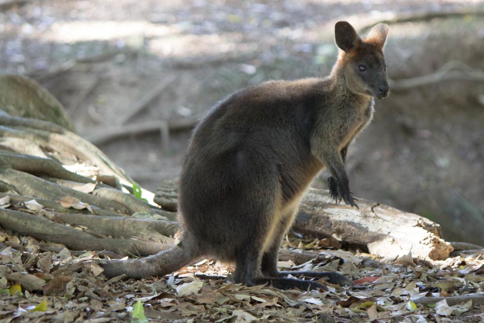 Un wallaby curieux