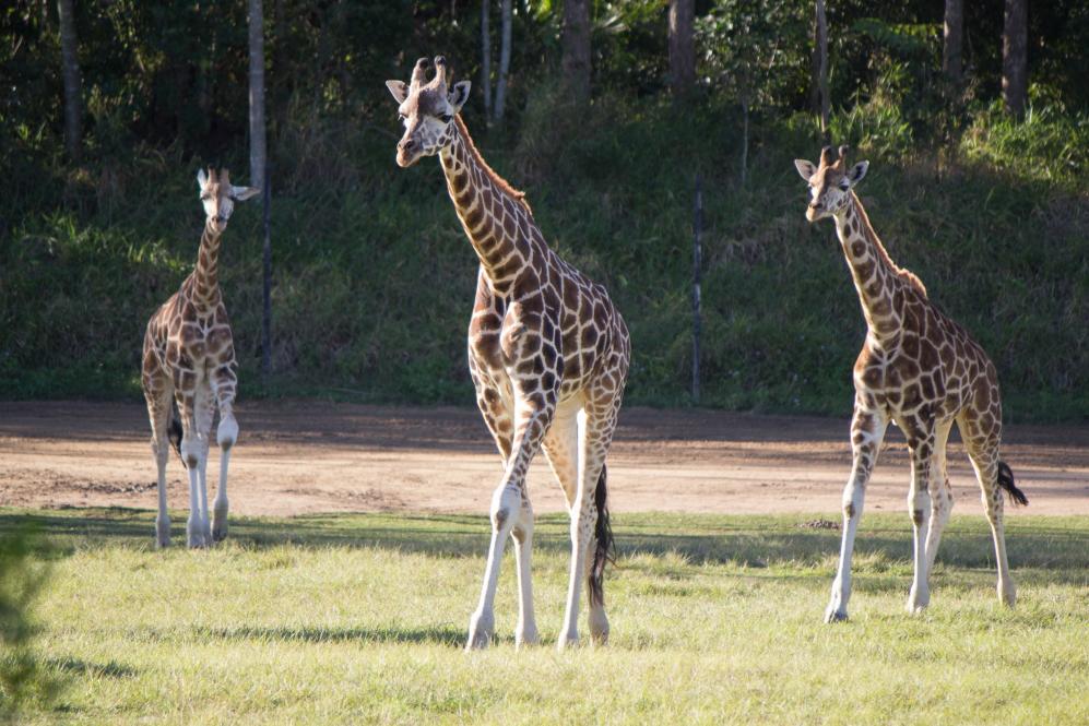 Il y a aussi de girafes