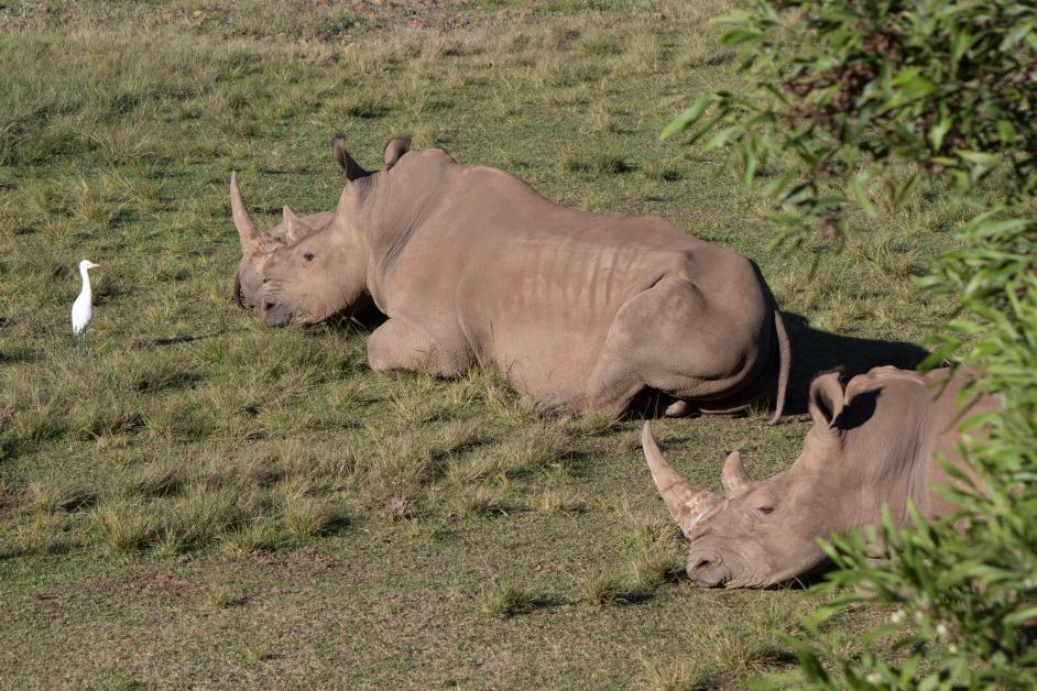 Des rhinocéros, même un bébé!