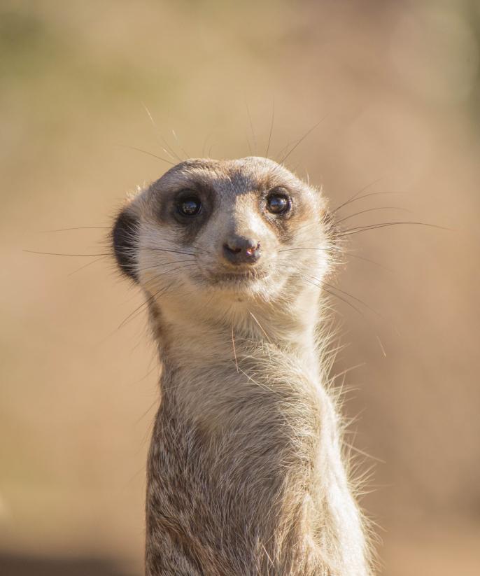 Salut Timon! Il s'agit d'un suricate ou meerkat en anglais