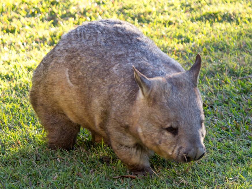 Un Wombat Hairy Nosed ou Wombat à nez poilu du Nord. Espèce quasiment éteinte, on en décompte encore une centaine.