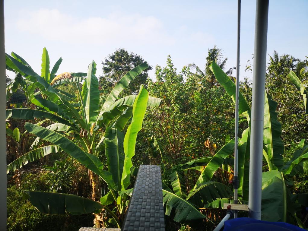 Vue sur les bananiers du voisin depuis notre balcon