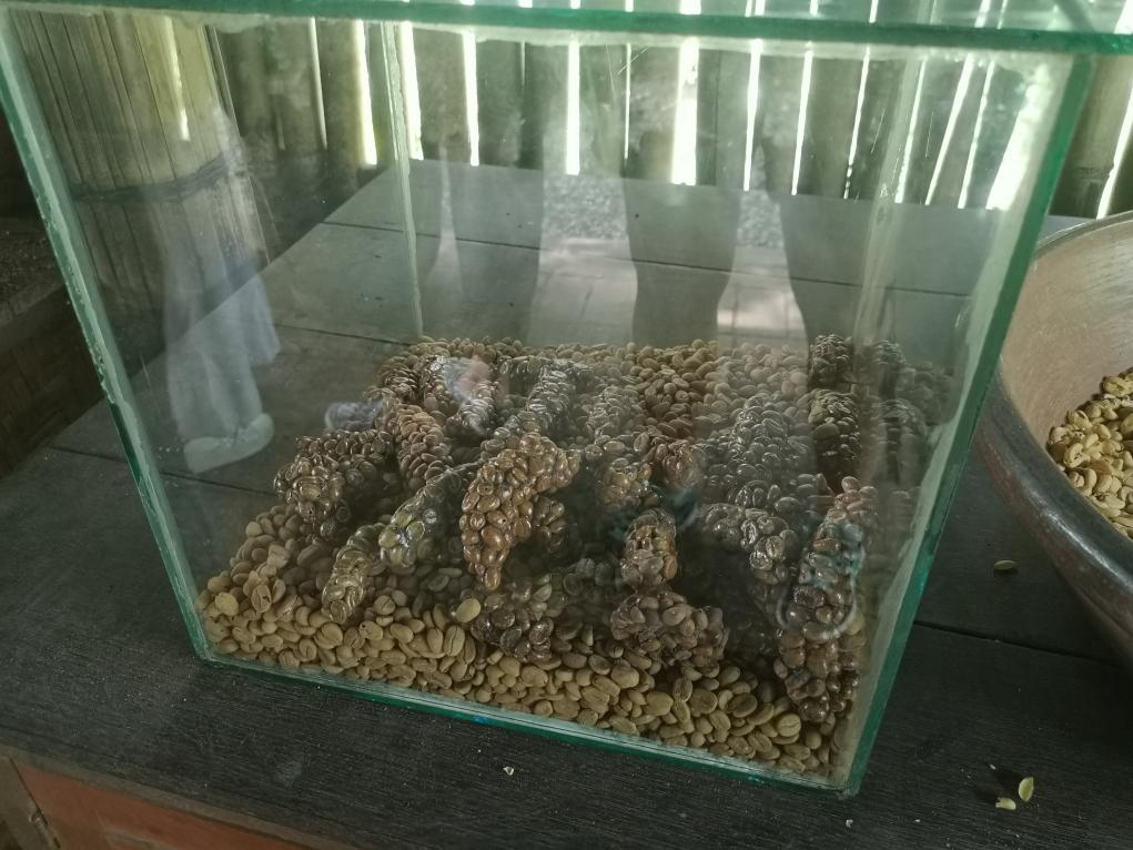 Déjections de mangoustes avec les graines de café dedans