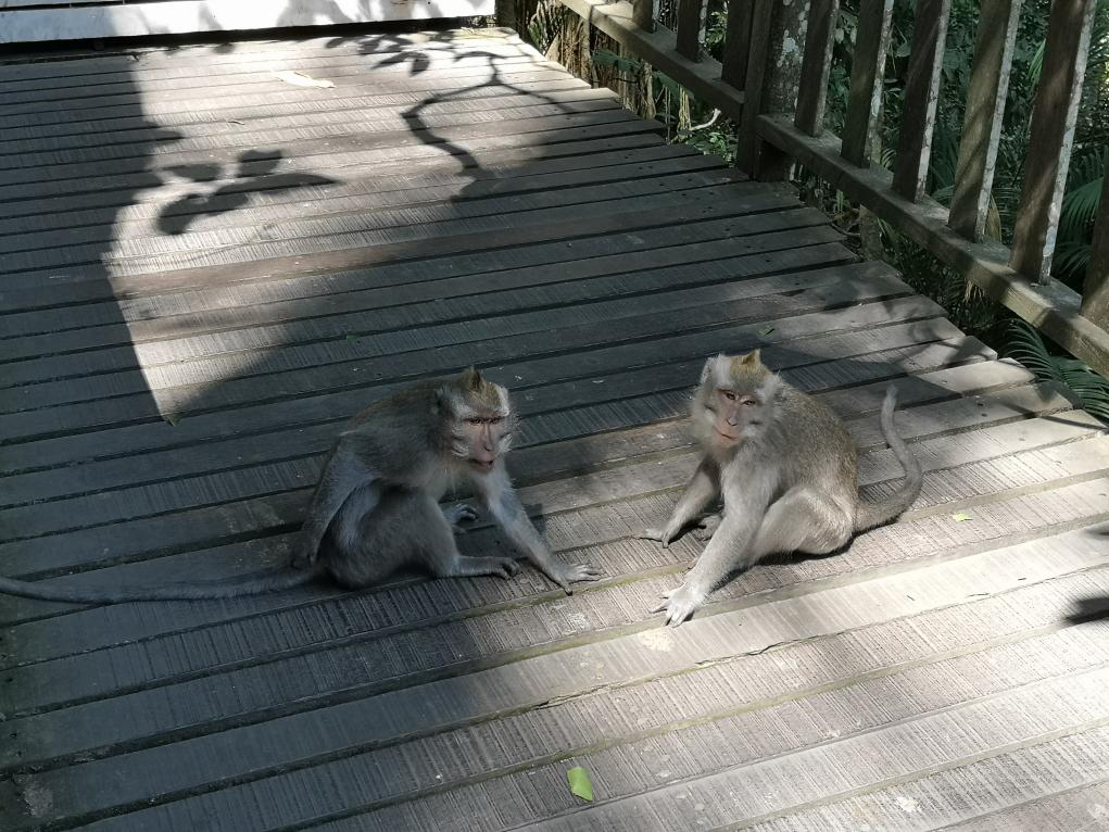 Deux macaques nous barrent finalement la route. Il va falloir patienter.