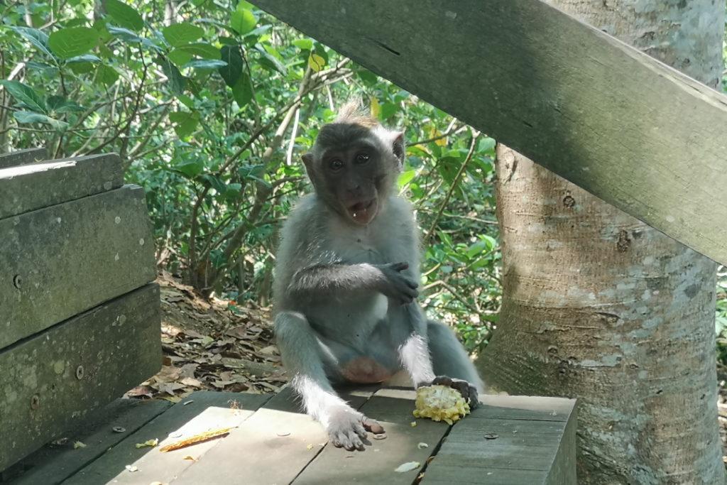 Petit macaque solitaire en plein repas