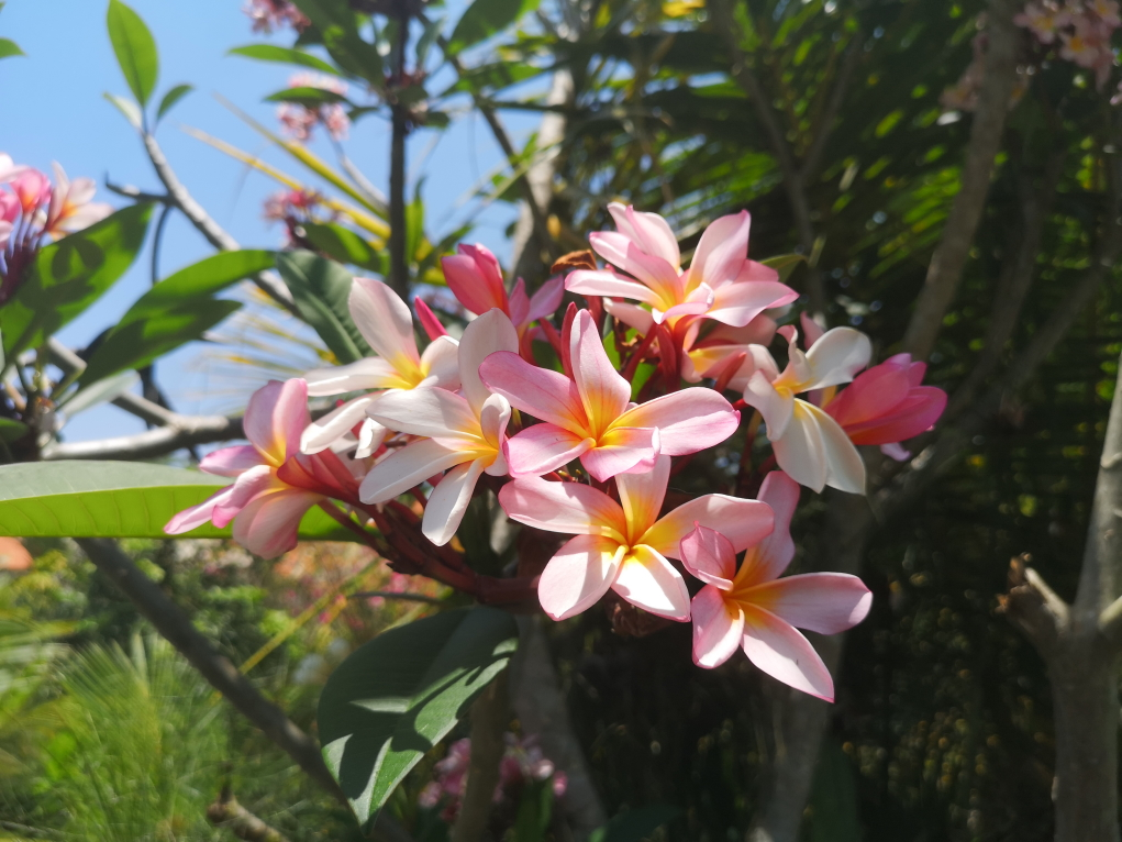 De magnifiques fleurs de frangipanier. Il en existe 3 couleurs: blanche, la plus commune, jaune et roses. Selon la légende, c'est une déesse qui aurait uriné sur la fleur blanche pour créer la jaune. Je n'ose pas imaginer comment a été créée la rose...