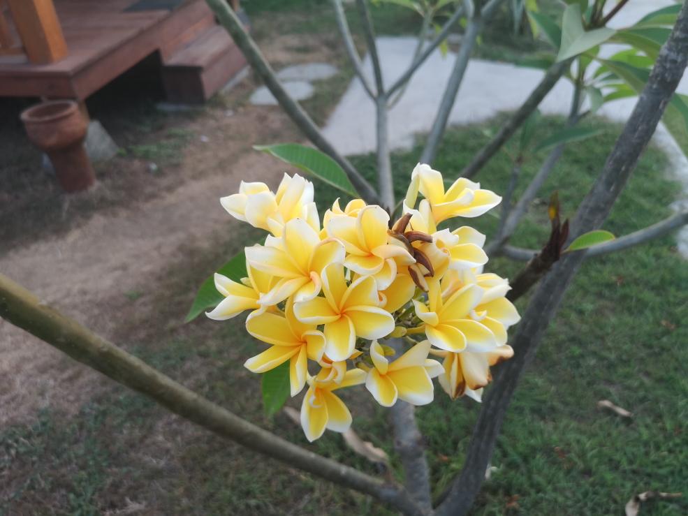 Fleurs de frangipanier jaune