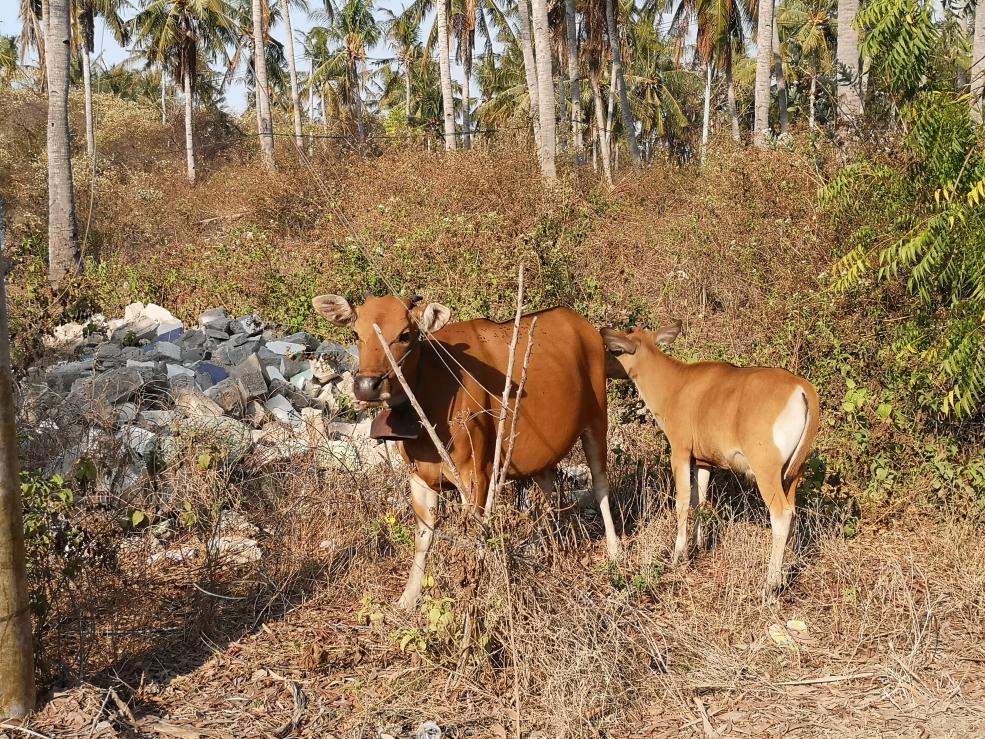 Des vaches sur Gili Meno
