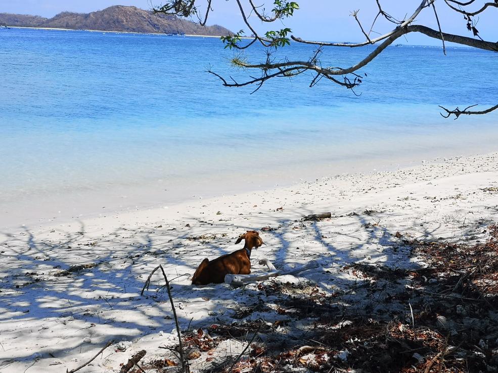 Ah si, nous partagions la plage avec une chèvre