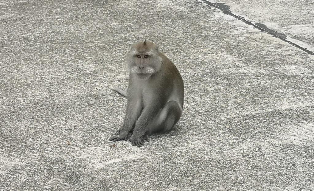 Au milieu de la route, un macaque