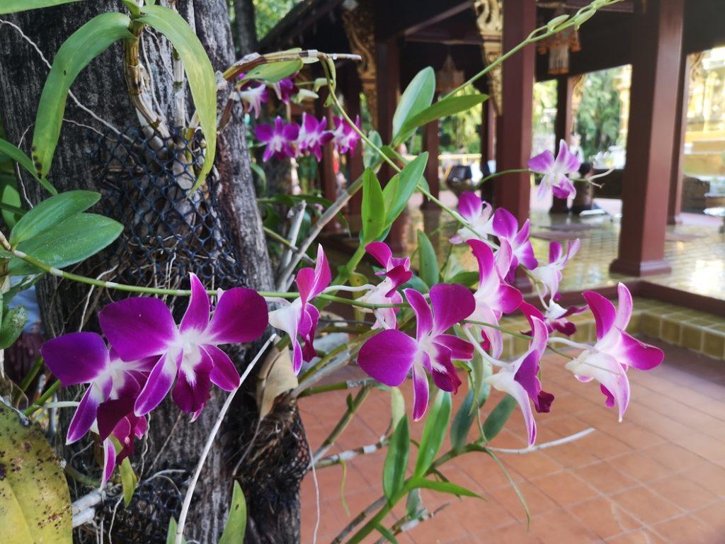 Fleurs dans la cour du Wat Phra Singh