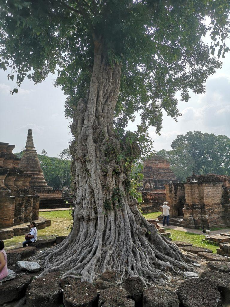 Un arbre au milieu du Wat Mahāthāt