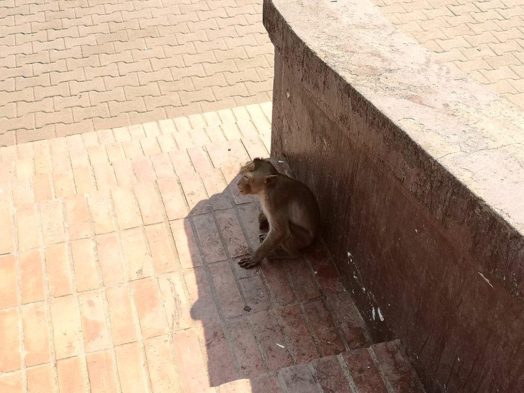 Un autre macaque à l'ombre dans la rue