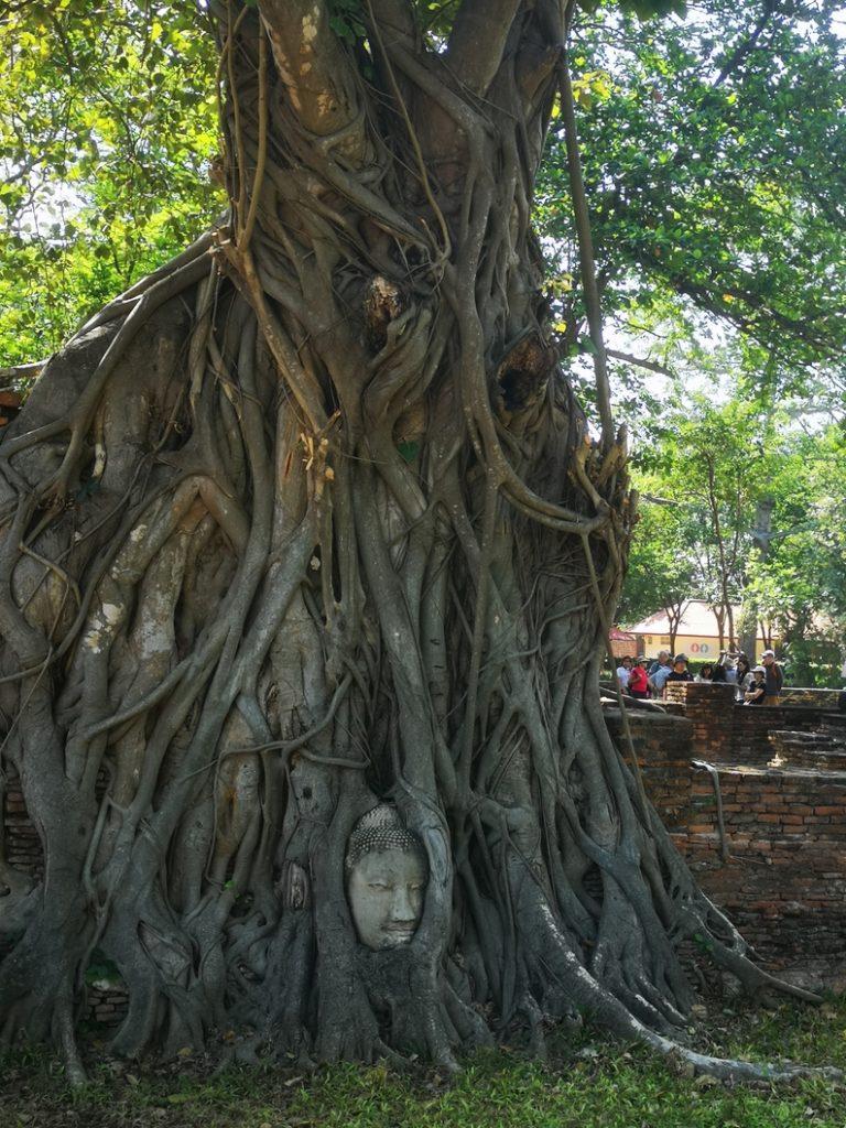 Tête de Bouddha coincée dans un arbre au Wat Mahathat
