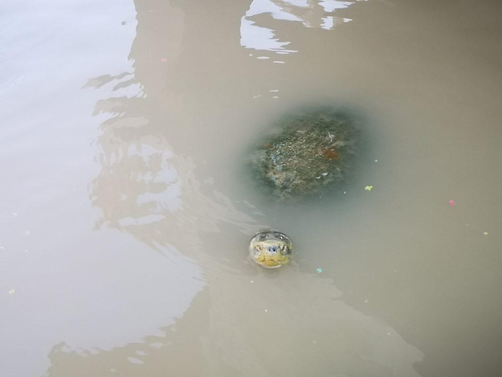 Une petite tortue qui pointe le bout de son nez dans le canal à côté du Wat Yai Chai Mongkhon