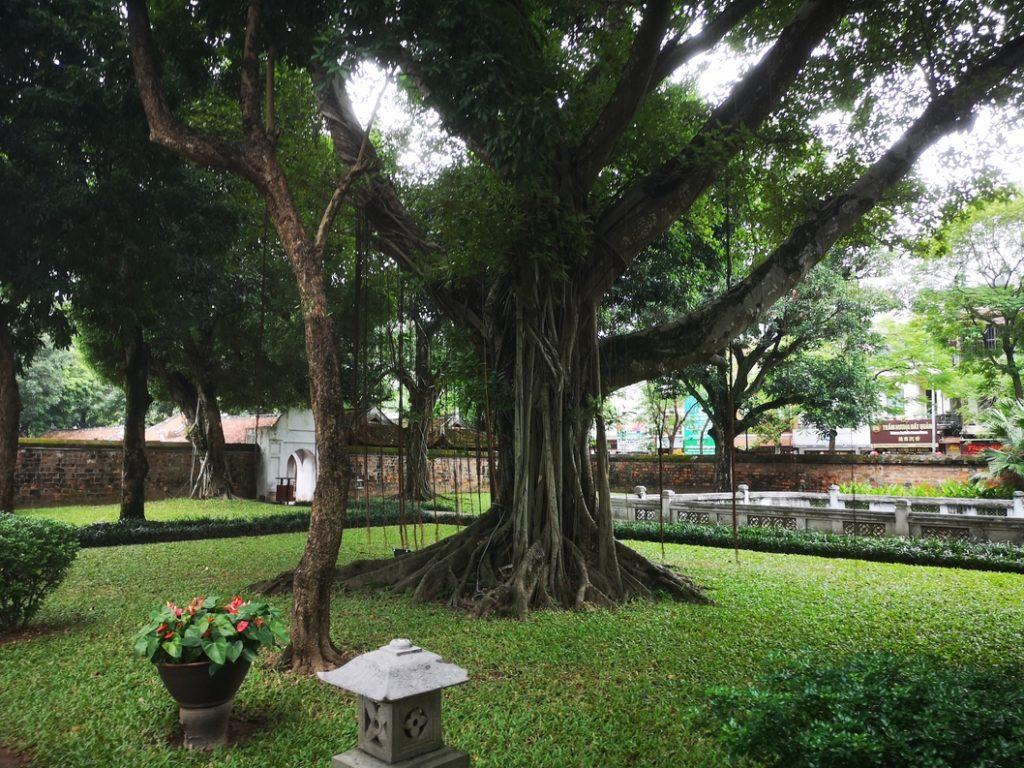 Un arbre imposant dans l'une des cours du temple de la Littérature