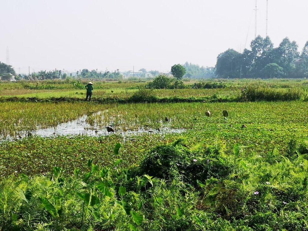Les rizières voisines de notre logement