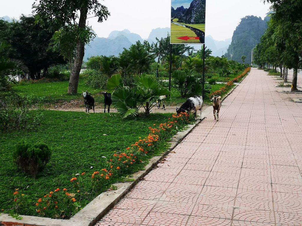Des chèvres en bordure de route
