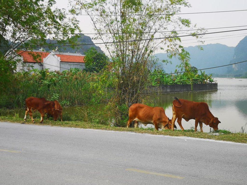 Des bœufs au bord de la route