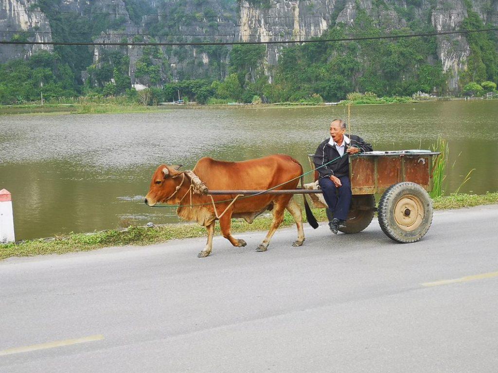 Un chariot tiré par un bœuf
