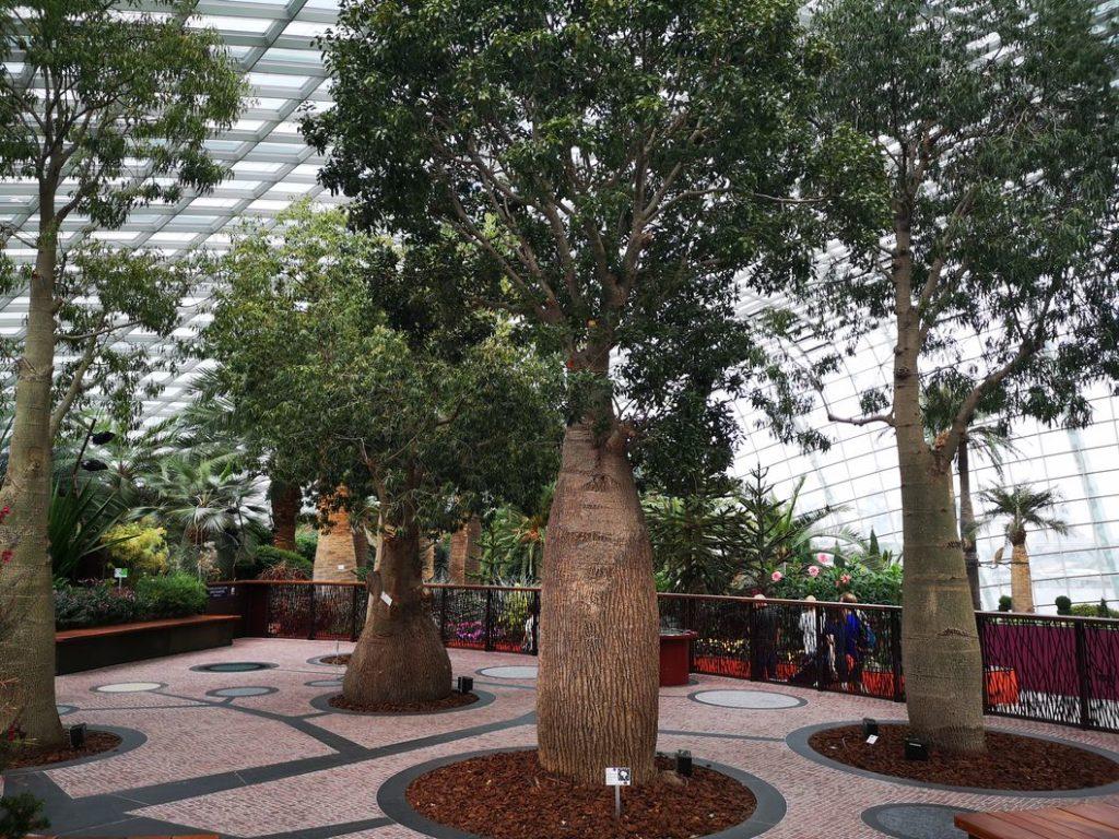 Le coin australien du Flower Dome: ici des baobabs!
