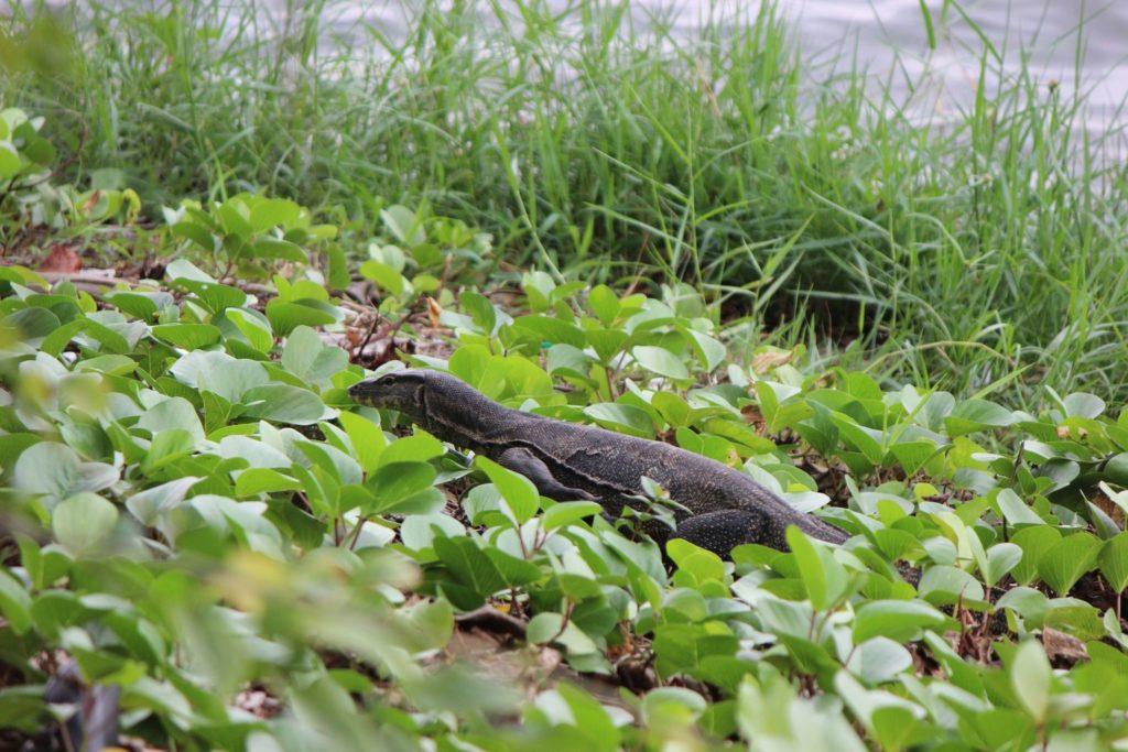 Un varan menant paisiblement sa vie au milieu des Gardens by the Bay